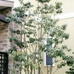 ギンモクセイのシンボルツリー