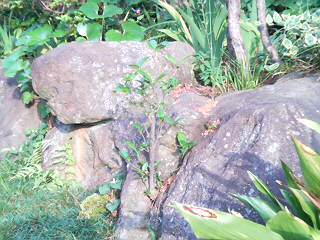 続・岩に生えた木