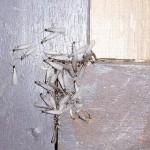 まもなくシロアリの羽アリシーズンです。