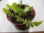 春の七草を集めて七草粥を作りました(2)