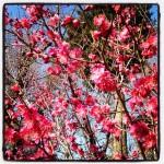 紅梅も咲いています