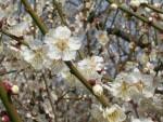 大阪城公園 梅林風景 4 「春らしい白色」