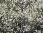 大阪城公園 梅林風景 5 「咲き乱れ満開」