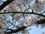 大阪城公園の桜 1 桜の下では人は笑顔になります!