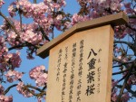 大阪造幣局の桜通り抜け 7 自慢のワンショット 八重桜!
