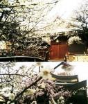 春の 東京「湯島天神」