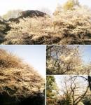 東京・文京区  「江戸川公園の桜」