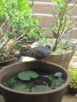 我が家の北側バルコニーに遊びに来る鳩