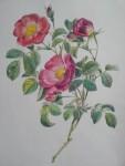 ルデューテのバラ(最近の塗り絵教室でのテーマ)