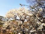 春の 東京「小石川後楽園」の梅