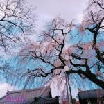 樹齢150年の枝垂れ桜